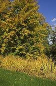 Molinia et Hêtres au Parc Floral de Vincennes en automne