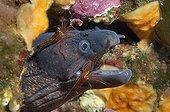 Moray eel cleaned by Monaco shrimps