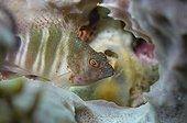 Poisson faucon à tache rouge dans la mer des Caraïbes