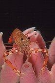 Crevette boucot sur une Eponge Cap Caccia Sardaigne