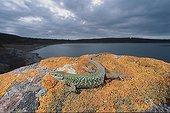 Italian wall Lizard on a rock Baratz lake Sardinia Italia