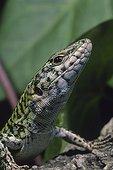 Portrait of an Italian wall lizard Alghero Sardinia Italia