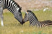 Tenderness enters a Zebra and its small Etosha