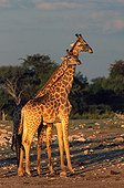 Scene of tenderness of a female Giraffe for the male Etosha