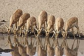 Herd of Impalas drinking at a water point Etosha