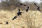 Broken up flight of a group of Starlings Etosha