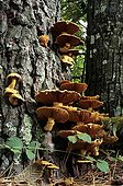 Big Laughing Mushrooms on a tree trunk France