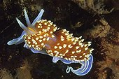 Nudibranche on seabed Pacific Ocean California