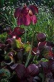 Sarracène pourpre veiné en fleur au Jardin Botanique de Lyon