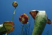 Swan's Pitcherplant natural hybrid in bloom