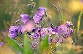 Scheuchzer Bellflowers in backlighting Alps France