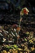 Plante cobra en fleur au Jardin Botanique de Lyon