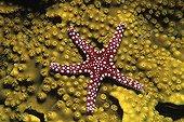 Hurghada starfish Red Sea Egypt