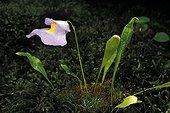 Epiphytic Bladderwort in bloom Lyon Botanical Garden ; Bladderwort endemic to Central America (Costa Rica and Panama)