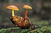 Mushroom Gymnopilus on a pine cone in underwood France