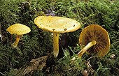 Mushroom Gymnopilus in underwood France