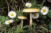 Gilled Mushrooms and Lawndaisies in underwood France