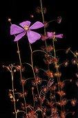 Tuberous Sundew in bloom Botanical Garden of Lyon