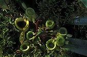 Urns of Flask shaped Pitcher Plant Botanical Garden Lyon