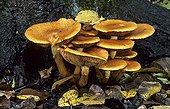 Big Laughing Mushrooms on humus France