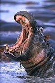 Yawning Hippopotamus Virunga NP Congo
