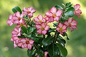 Adenium in flower