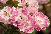 Rosa 'Sorbet Framboise'
