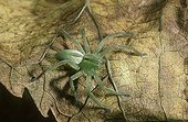 Green spider posed on a dead sheet
