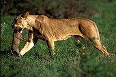 Lionne ayant tué un jeune phacochère Masaï Mara kenya