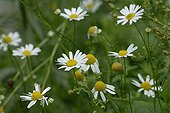 German chamomile in flower