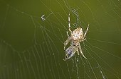 Araneus quadratus spider on its web with a prey