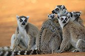 Ringed-tailed Lemur female and young Berenty reserve