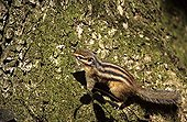 Feral Siberian Chipmunk in Sénart forest France ; Sold in Europe as of the 1960's, released in nature where it constitutes perennial populations (Netherlands, Belgium, Switzerland, Germany, Italy and France).  In 2005, 11 populations were installed in France including eight in Ile de France and three in Picardy. Some of these populations count several thousands of individuals.  Competitor of the ground nesting birds.