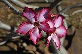 Desert rose in flower