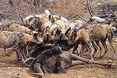 Lycaons mangeant un Gnou Afrique du Sud