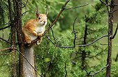 European red Squirrel at spring Finland ; Place: Russian border