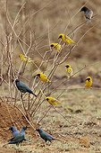 Lesser masked weavers and Greater blue-eared glossy starling