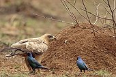 Tawny eagle and Greater blue-eared glossy starlings