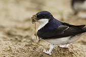 House martin collecting mud in its beak France
