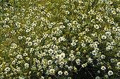 Floor of German chamomile