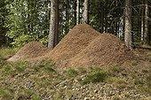 Fourmilière de Fourmis rousses des bois Suède