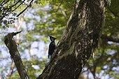 Female Magellanic woodpecker on a trunk Nahuel Huapi NP
