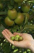 Eclaircir les pommes pour obtenir de plus gros fruits