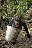 Jeune femelle Chimpanzé dans un seau Cameroun. ; Cette adolescente chimpanzée vit sur une île avec 8 autres orphelins. Ils recoivent chaque jour un complément alimentaire. Elle a la bouche remplie de sauce tomate (haricots blancs à la sauce tomate). Sanctuaire de Pongo Songo.