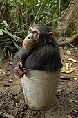 Jeune femelle Chimpanzé dans un seau Cameroun ; Cette adolescente chimpanzée vit sur une île avec 8 autres orphelins. Ils recoivent chaque jour un complément alimentaire. Elle a la bouche remplie de sauce tomate (haricots blancs à la sauce tomate). Sanctuaire de Pongo Songo.