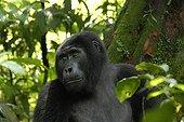 Portrait of a Gorilla of mountain Uganda