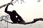 Pensive chimpanzee sitted on a branch in back-light ; Sanctuary of HELP Congo