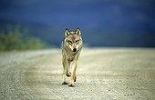 Wolf walking on a track Denali NP Alaska