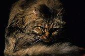 Portrait d'un chat à poil long faisant sa toilette France ; Localité : Refuge de Beauregard, St Eloi