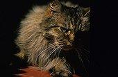 Portrait d'un chat à poil long curieux France ; Localité : Refuge de Beauregard, St Eloi